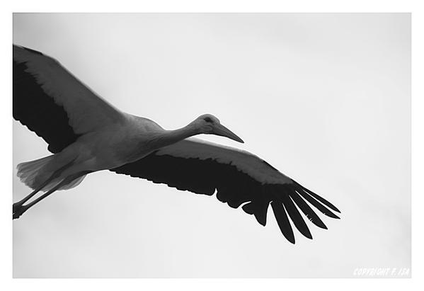 envol-d-une-cigogne-blanche-image-noir-blanc