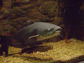 blue_catfish